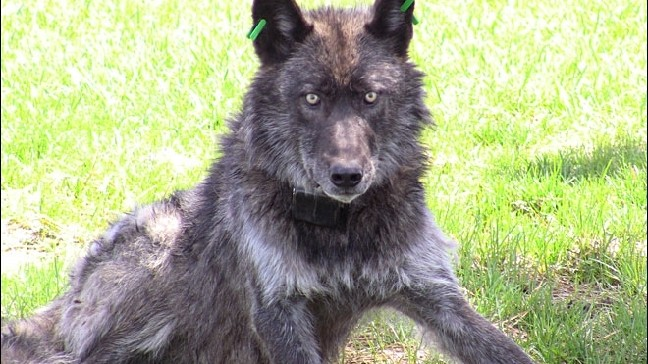 Pregnant Cow Killed All Evidence Indicates Wolf Attack Kval