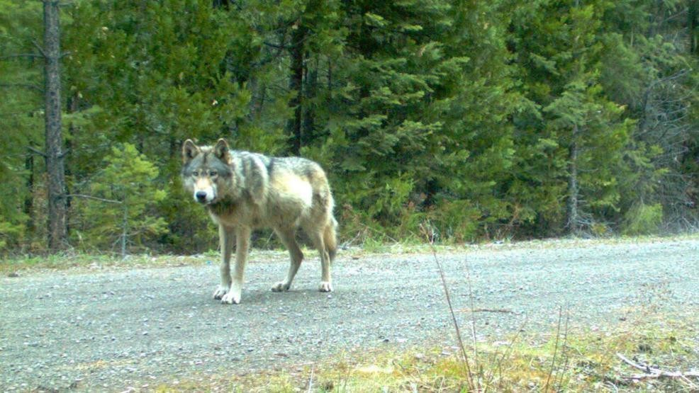 Oregon Rancher Uses Lime Green Inflatable Air Dancer To Shoo Wolves
