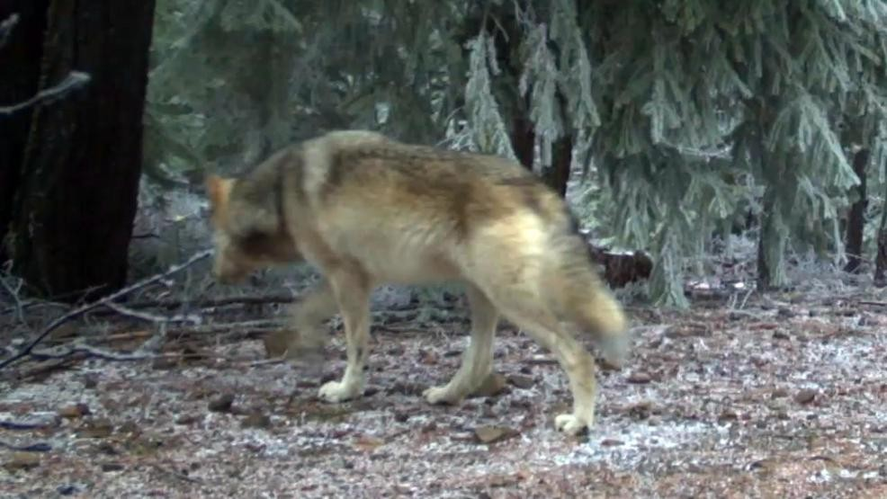 Wolf Advocates We Should Not Be Killing Wolves Especially A