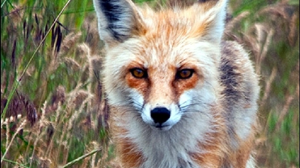 New cases of rabies confirmed in Oregon foxes | KVAL