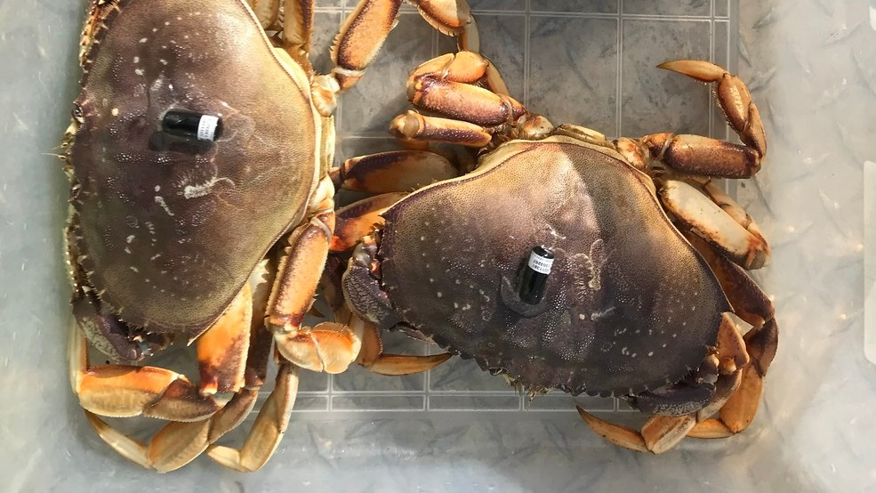 OSU study yields new insights on Dungeness crab - and great