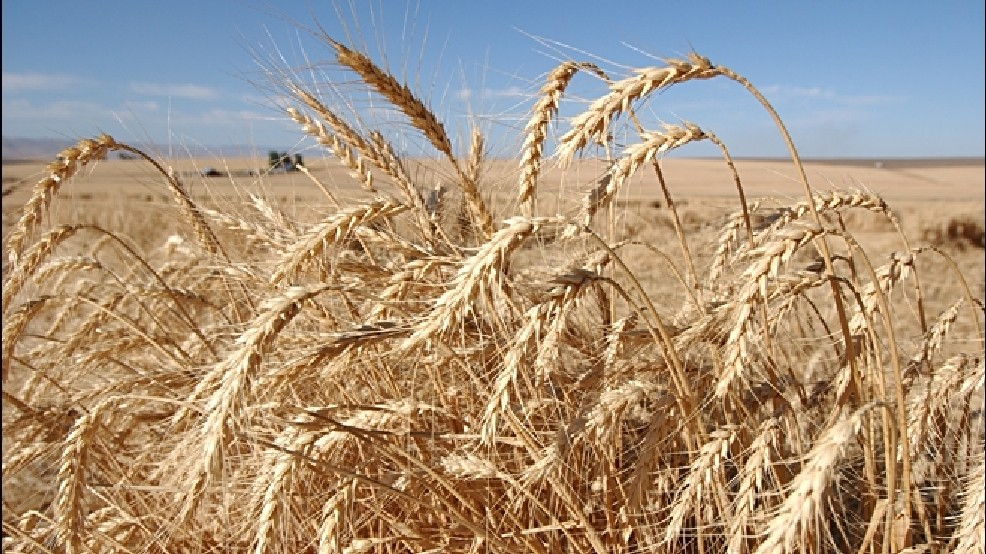 USDA: Non-approved genetically modified wheat found in